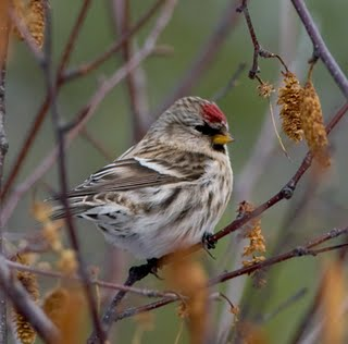 Common Redpoll - Chris Neri