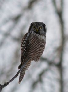 Northern Hawk Owl - Skye Haas