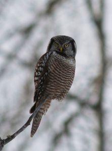 Northern Hawk Owl - Skye Haas